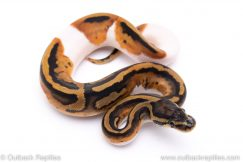 Pied ball python for sale