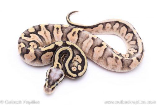super pastel sugar ball python for sale