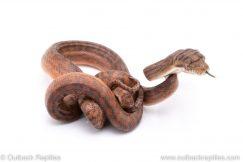 scrub python for sale
