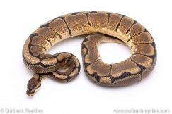 Spider ball python for sale