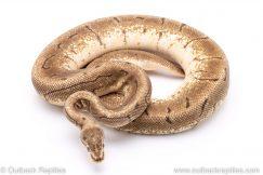 Spinner fire adult breeder ball python for sale