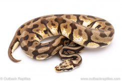 Spotnose enchi pastel calico adult breeder ball python for sale