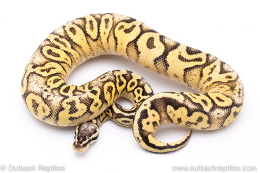 Super pastel yellowbelly ball python for sale