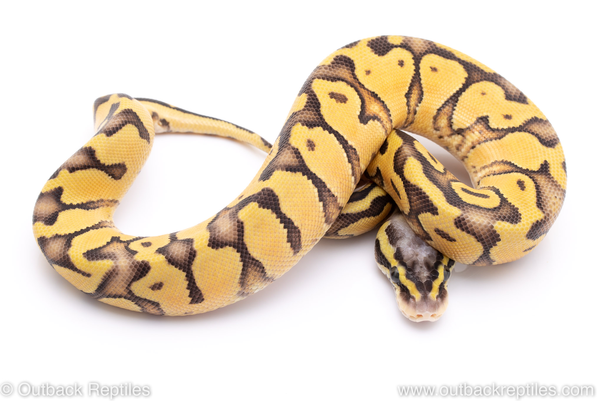 Super Pastel Enchi ball python for sale