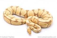 toffee adult breeder ball python for sale