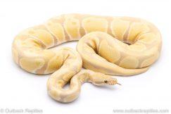 Toffino adult breeder ball python for sale