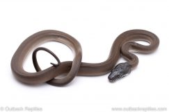 white lipped d'albert's python for sale