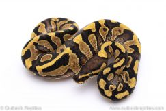 yellowbelly het clown ball python for sale