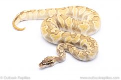 ghi pastel lesser enchi ph clown ball python for sale