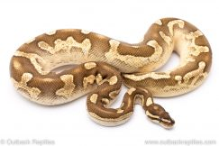 Sable lesser calico yellowbelly adult breeder ball python for sale