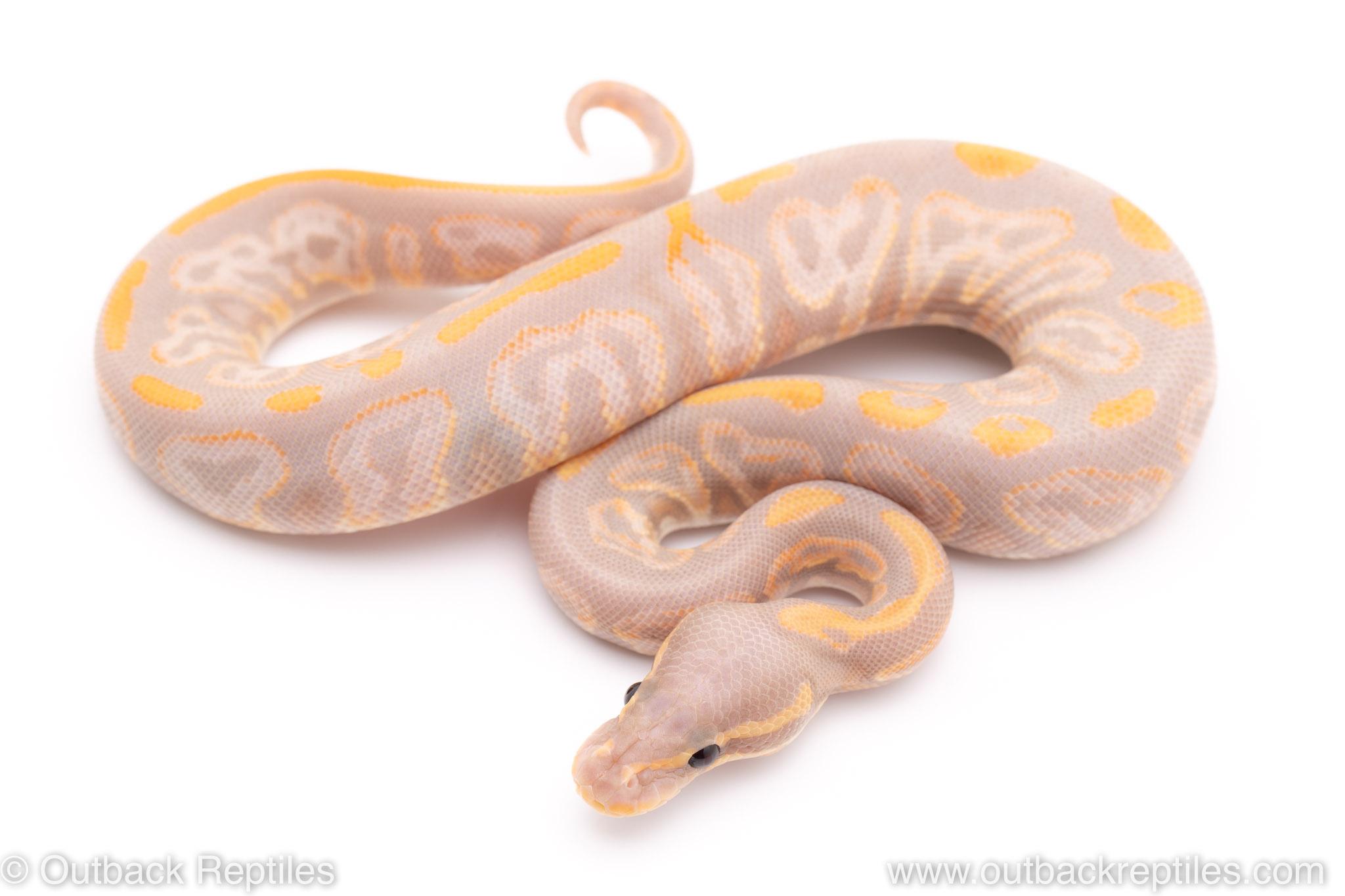 Banana Black Pastel ball python for sale