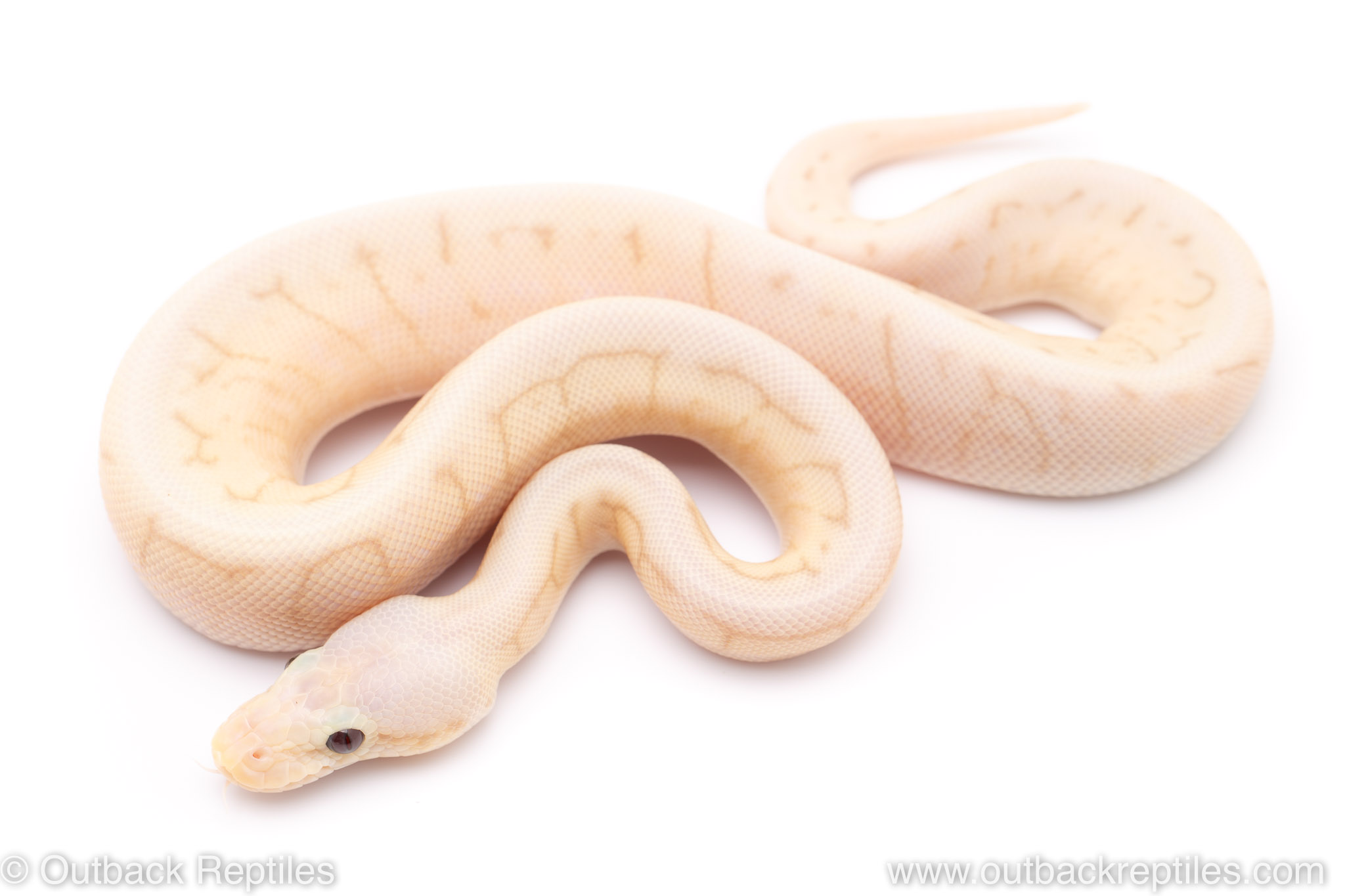 Banana Killer spinner blast ball python for sale