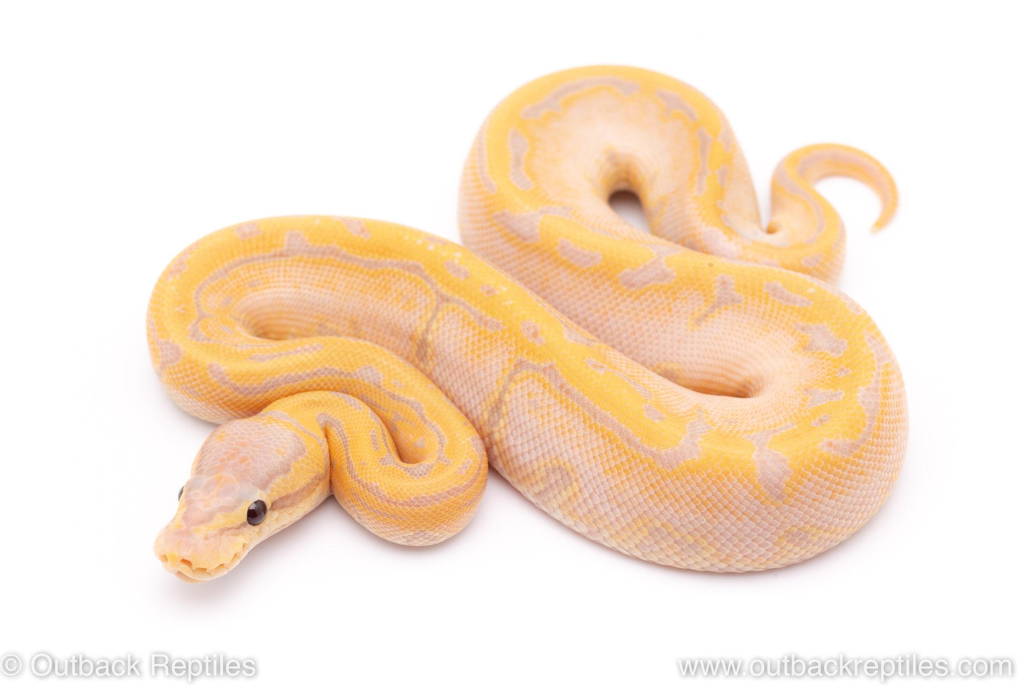 Lemon Blast Banana ball python for sale