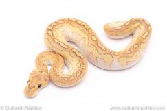 banana lesser clown ball python for sale