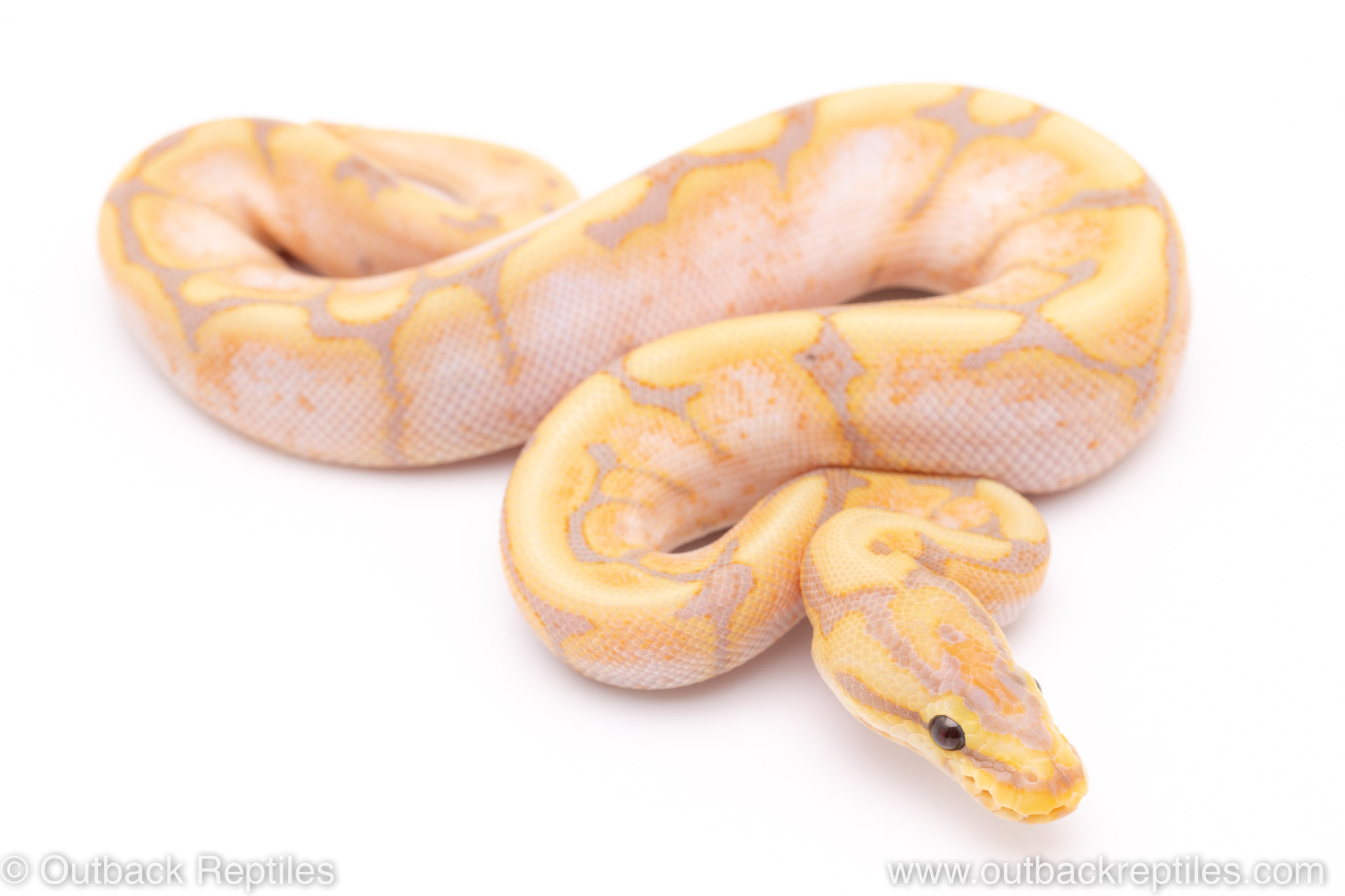 Banana Spider ball python for sale