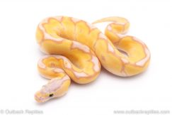 Banana enchi clown ball python for sale