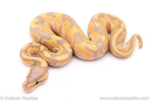 Banana het pied ball python for sale