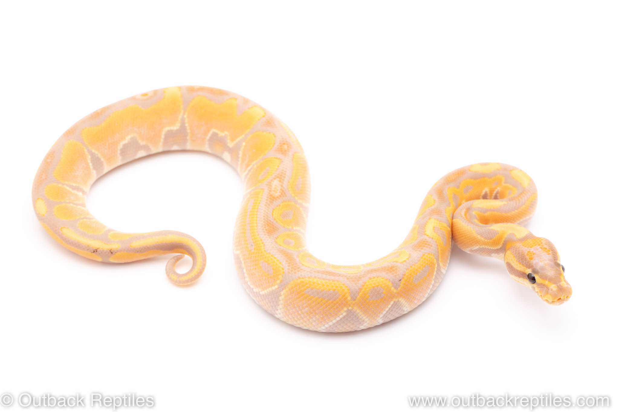 banana het red axanthic ball python for sale