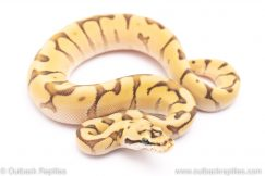Bumblebee mojave enchi Bumblebee Mojave Enchi ball python for sale
