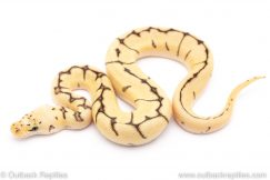 bumblebee clown ball python for sale