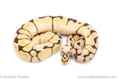 bumblebee het Clown ball python for sale