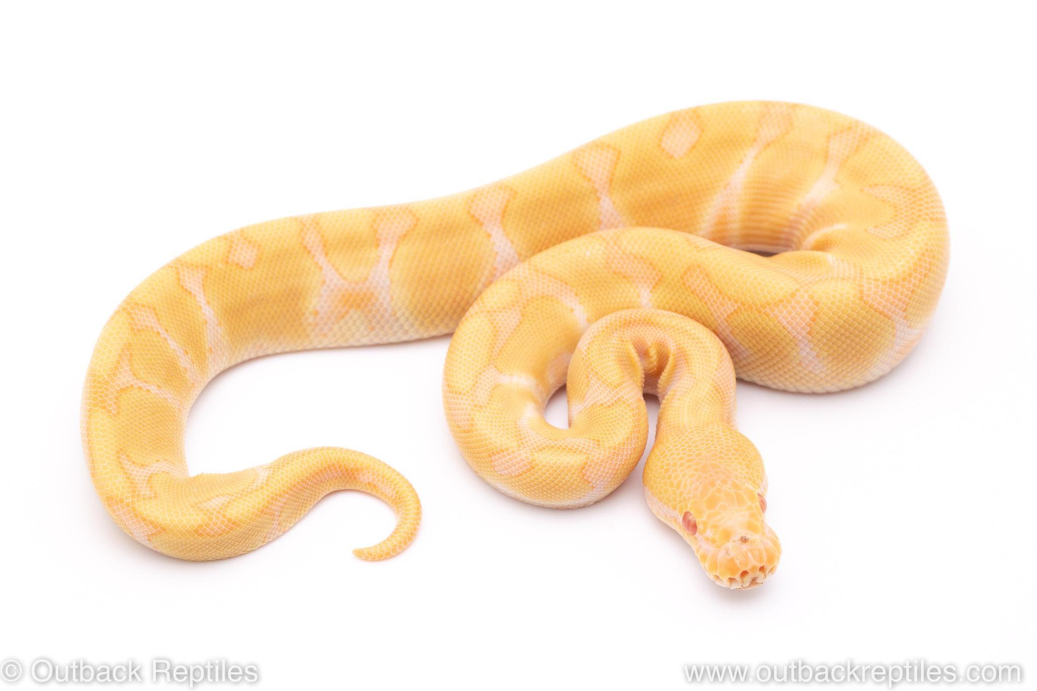 Enchi Candino ball python for sale
