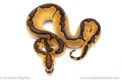 Enchi clown ball python for sale