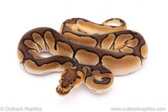 Enchi clown ball python for sale