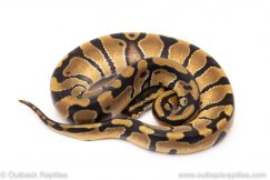 Enchi double het vpi axanthic clown ball python for sale