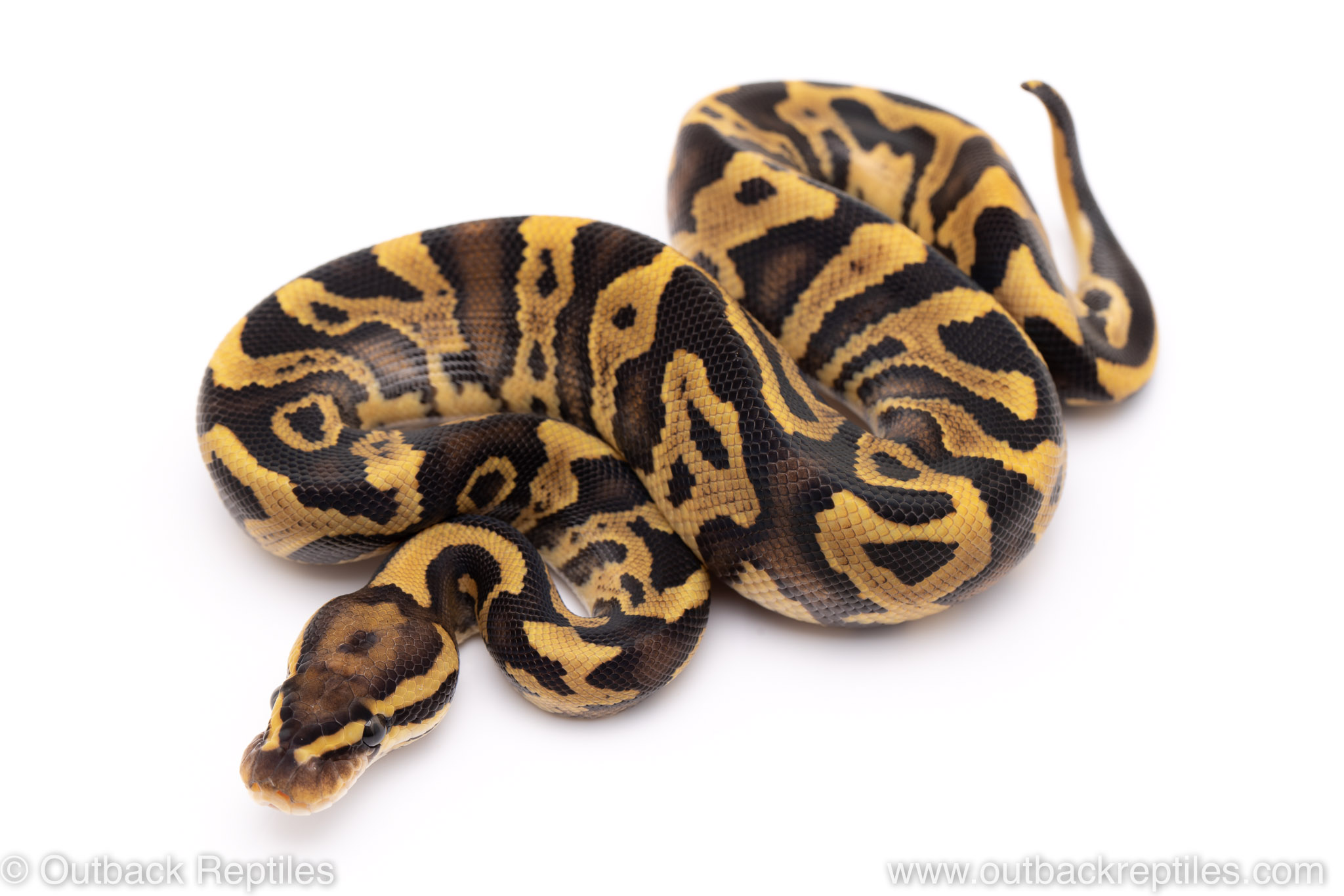 Fire Leopard ball python for sale