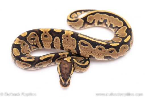 Fire ball python for sale