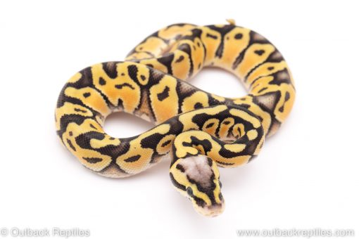 firefly lace ball python for sale