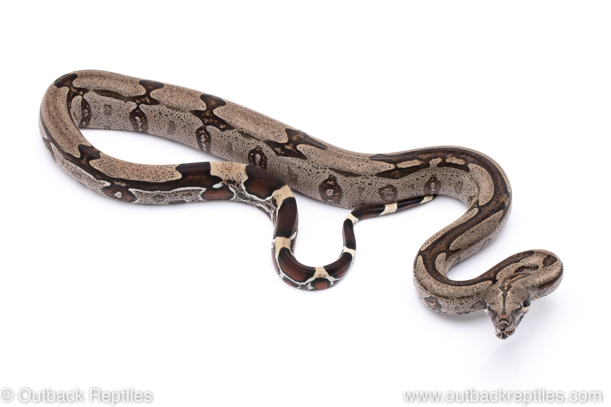Guyana Redtail Boa constrictor for sale