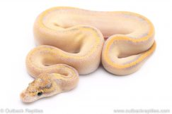 Ivory plus ball python for sale