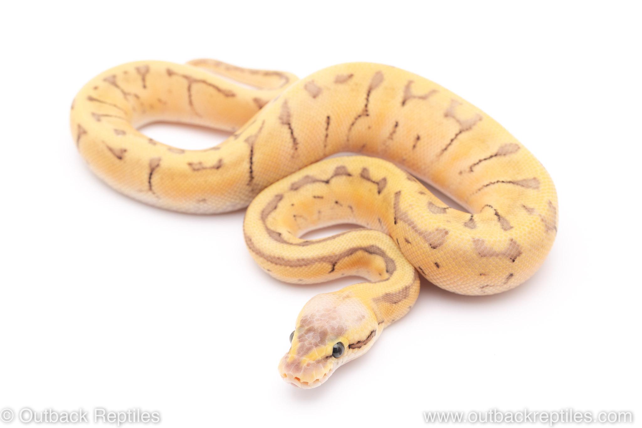 Killer blast enchi lace ball python for sale