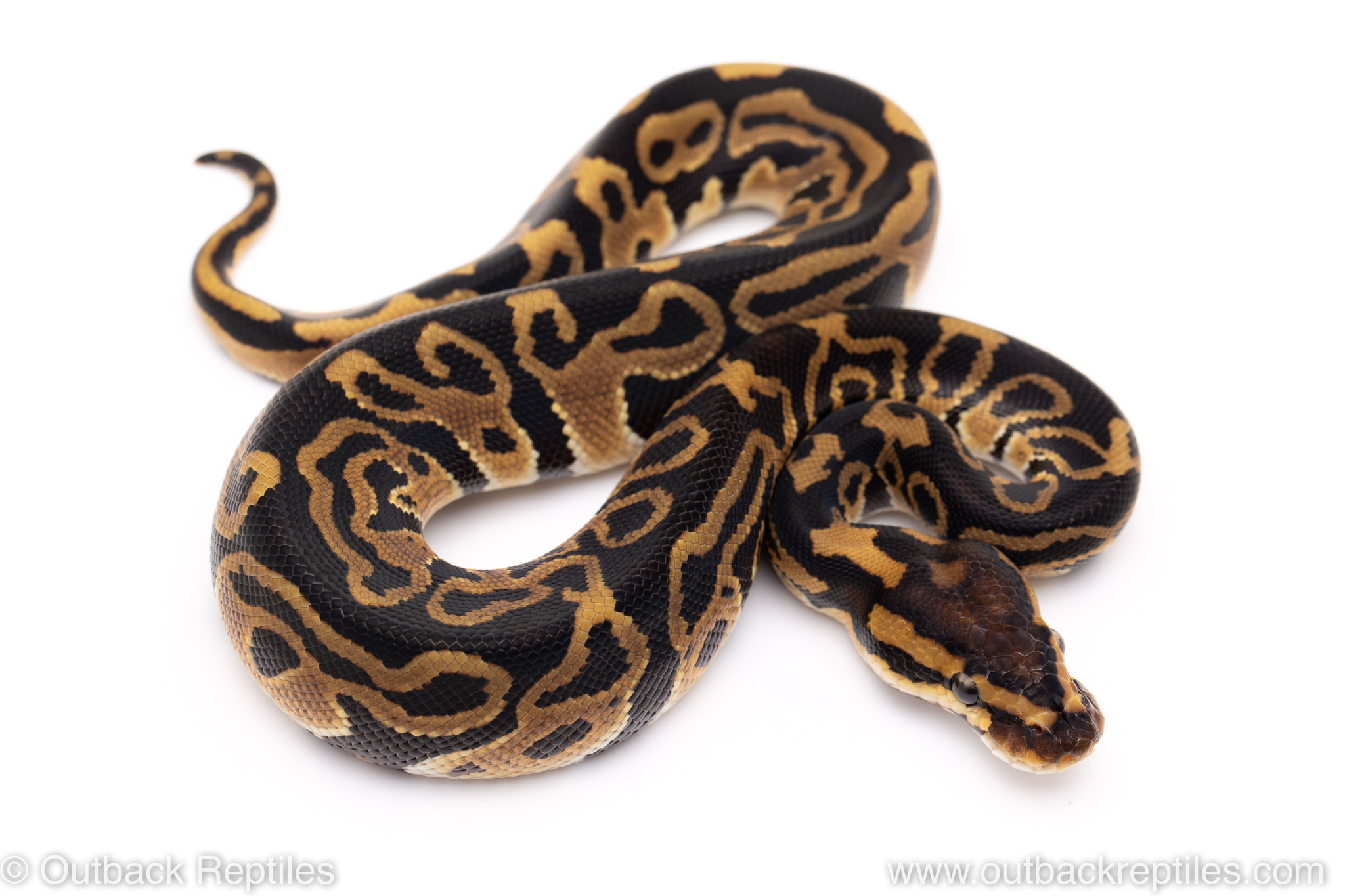 Leopard het Clown ball python for sale