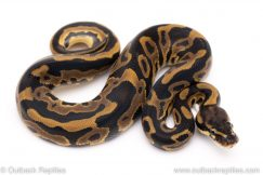 Leopard het VPI Axanthic ball python for sale