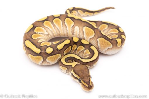 Lesser het clown ball python for sale