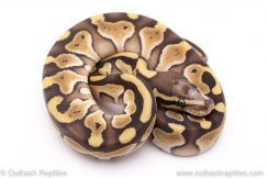 Scaleless head lesser ball python for sale