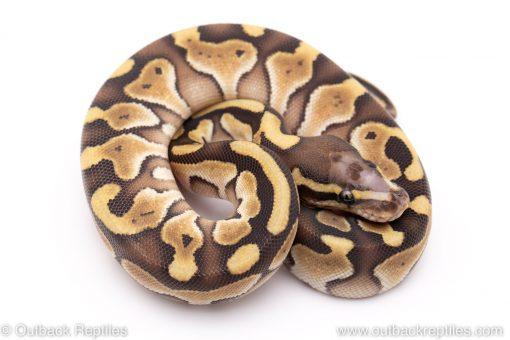 Scaleless head lesser ball python for sale