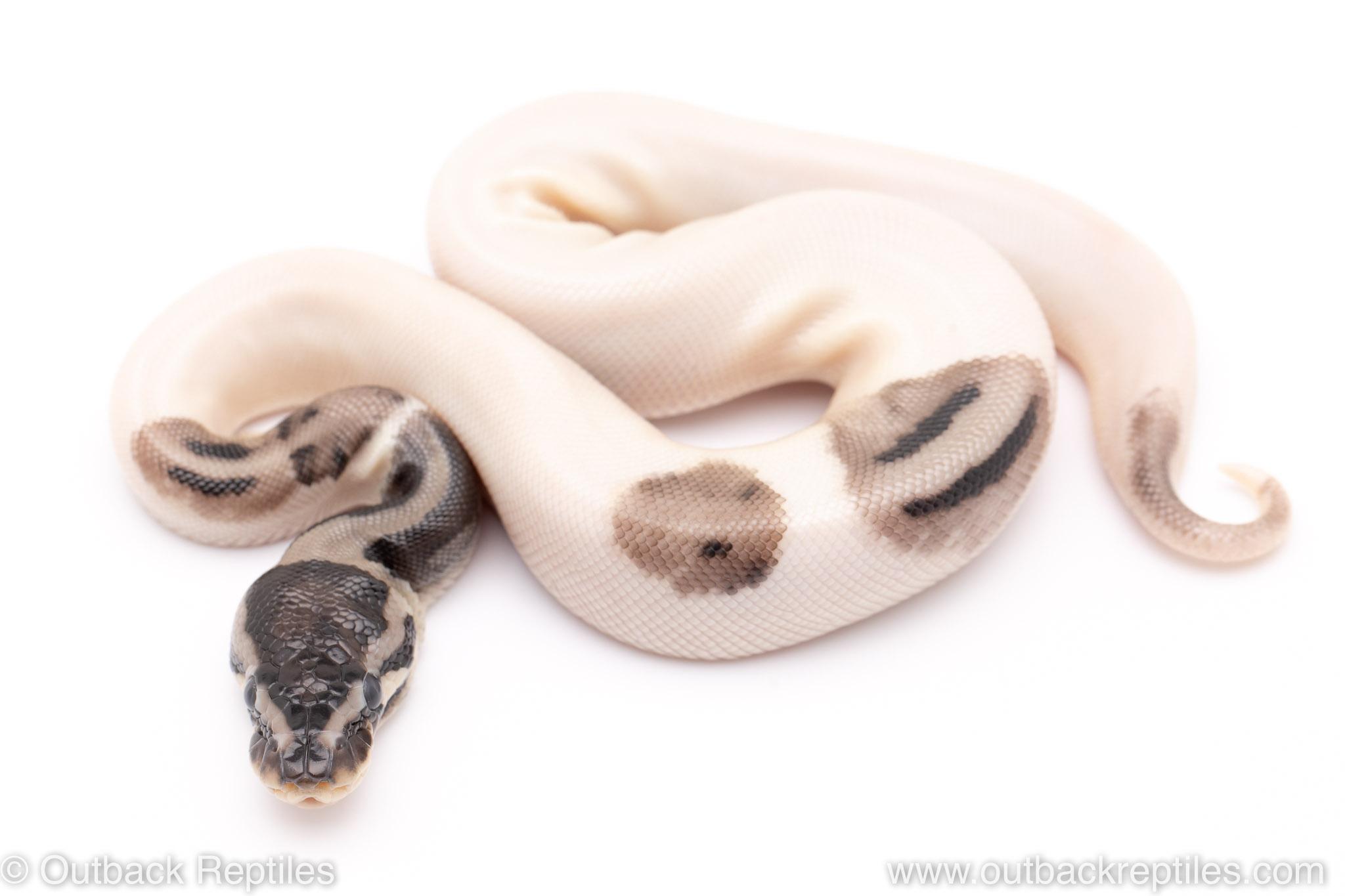 VPI Axanthic lightning pied ball python for sale