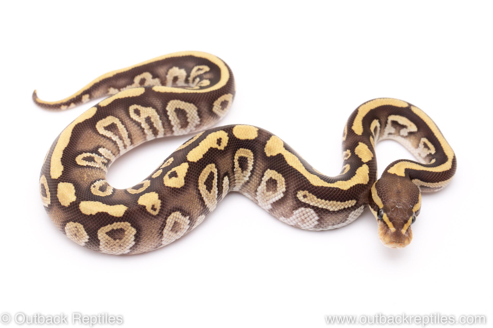 Mojave Fire ball python for sale