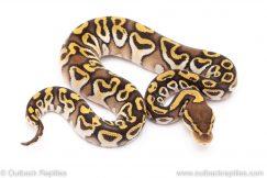 insane mojave het clown ball python for sale