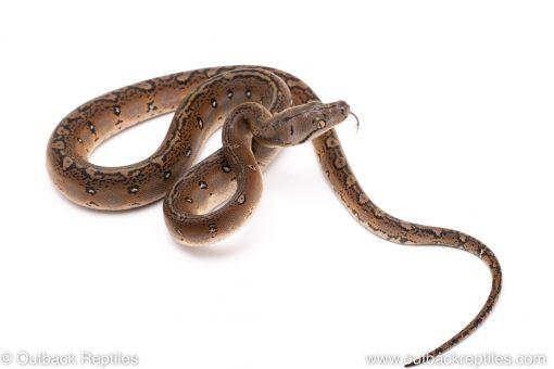 Motley graniteback reticulated python for sale