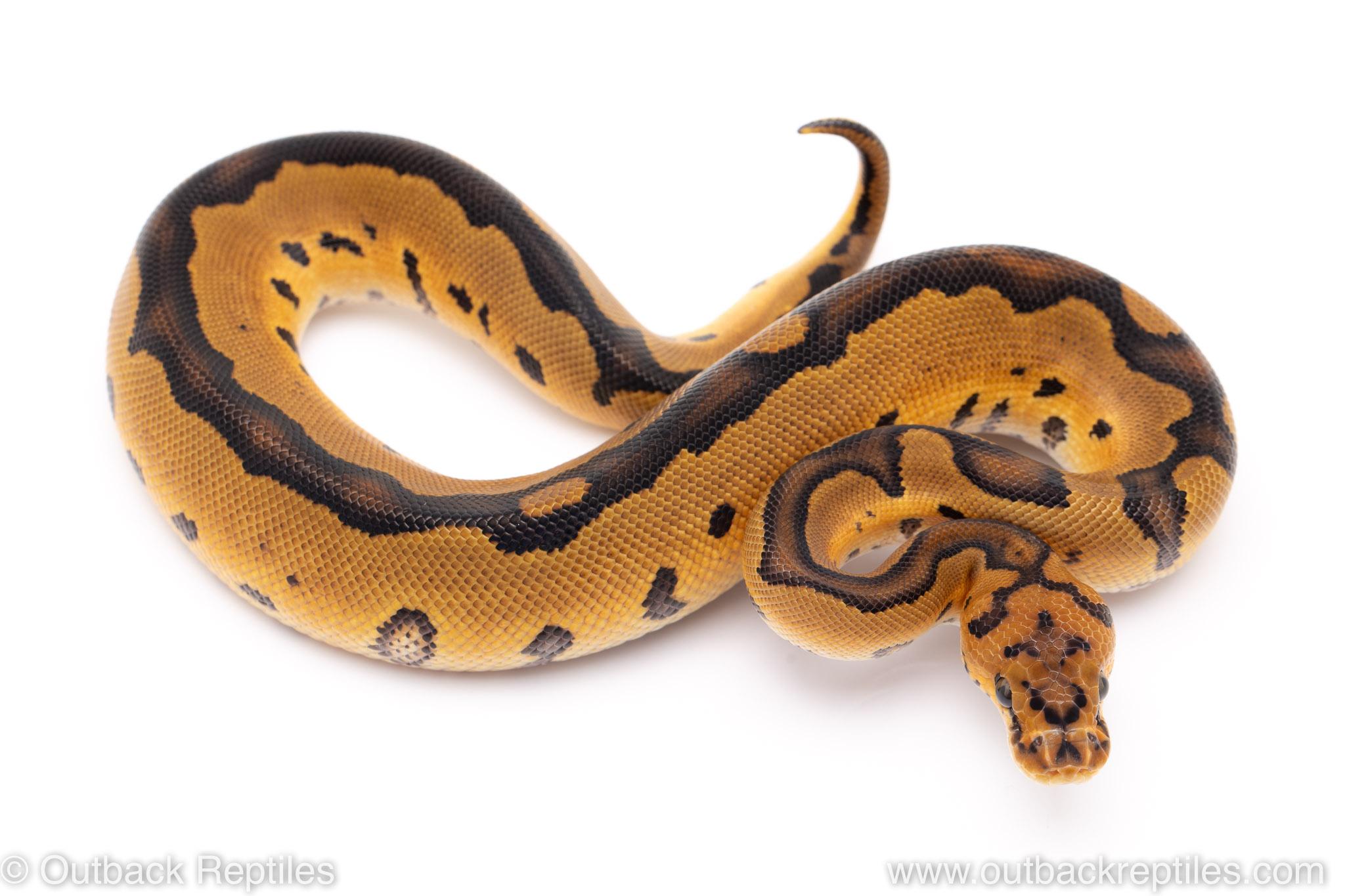 clown ball python for sale
