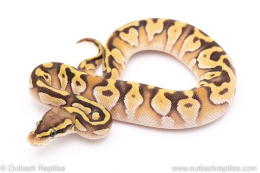 Pastave Enchi ball python for sale