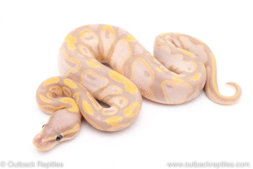 pastel banana sugar ball python for sale