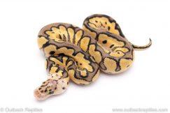 Pastel clown ball python for sale
