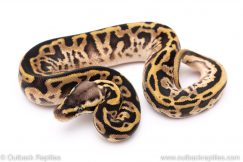 Pastel Leopard sugar ball python for sale