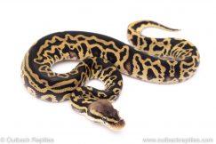 pastel leopard het clown ball python for sale